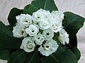 歐洲報春-半重瓣 Primula vulgaris White Parade -香港北區花鳥蟲魚展 North District Flower Show, Hong Kong- (24189345815).jpg