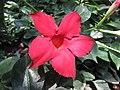 紅蟬 Mandevilla sanderi -青島世界園藝博覽會 Qingdao International Horticultural Expo, China- (14482893397).jpg
