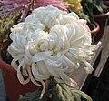 菊花-粉白毛刺 Chrysanthemum morifolium 'Pinkish White Hairy Thorns' -中山小欖菊花會 Xiaolan Chrysanthemum Show, China- (12027171746).jpg