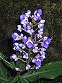 藍竹花 Dichorisandra thyrsiflora -香港嘉道理農場 Kadoorie Farm, Hong Kong- (9198168943).jpg