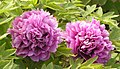 西北牡丹-九子珍珠紅 Paeonia papaveracea -洛陽神州牡丹園 Luoyang, China- (12428276014).jpg