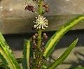 變葉木 Codiaeum variegatum 'Goldfinger' -香港嘉道理農場 Kadoorie Farm, Hong Kong- (45612756105).jpg