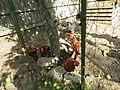 -2019-08-24 Chicken's in a pen, Trimingham (2).JPG