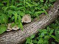 ... mushroom (3916449692).jpg