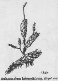 027 Aulacomnium heterostichum nagamichouchingoke.jpg