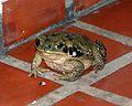 060402 toad IB - Flickr - Lip Kee.jpg