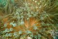 07-EastTimor-Advanced Dive-04 22 (Anemone)-APiazza.JPG