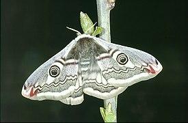08 Saturnia Pavonia femelle 1991.jpg