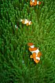 09-EastTimor-Dive Praia-Cristo-Rei 52 (Clown-Fish)-APiazza.JPG