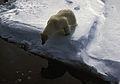 1991 polar-bear hg.jpg