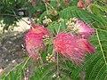 1 flores rosadas texas pink flower tree (9).jpg