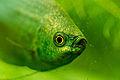 1 platy eye.jpg