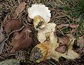 2008-09-11 Albatrellus pes-caprae Pouzar 37540 crop.jpg