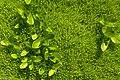 2009 Sun Peaks Summer - an interesting carpet of unusual moss?? - (28122226433).jpg