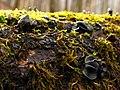 2010-01-18 Holwaya mucida Crinula calciiformis 74763.jpg