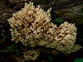 2010-06-12 Artomyces pyxidatus (Pers.) Jülich 89106.jpg