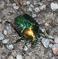 2011 06 12 grünlicher Käfer2.JPG