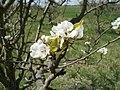 20120408Streuobstwiese Reilingen5.jpg