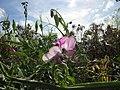 20120731Lathyrus latifolius2.jpg
