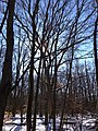 2014-01-24 11 36 22 Large Quercus alba in the woodlands along the West Branch Shabakunk Creek.JPG