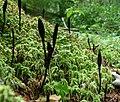 2014-09-09 Geoglossum nigritum Cooke 515578.jpg