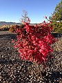 2014-10-06 08 01 19 Euonymus during autumn leaf coloration in Elko, Nevada.JPG