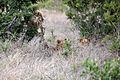 2014-11-23 051 Panthera leo anagoria.JPG