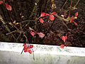 2014-12-28 16 23 23 Barberry leaves on Terrace Boulevard in Ewing, New Jersey.JPG