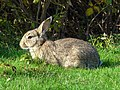 20141101 Wild konijn (Oryctolagus cuniculus) Strandweg Nes Ameland Fr NL.jpg