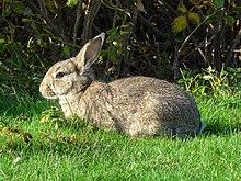 hoelang is een konijn zwanger wikipedia