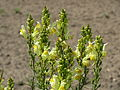 20150629Linaria vulgaris3.jpg