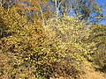 2016-10-25 10 37 09 American Witch-Hazel blooming at the Fishers Gap Overlook along Shenandoah National Park's Skyline Drive on the border of Page County, Virginia and Madison County, Virginia.jpg