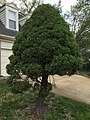 2017-04-17 09 30 53 Alberta Spruce at the corner of Springhaven Drive and Elderberry Place in the Franklin Glen section of Chantilly, Fairfax County, Virginia.jpg