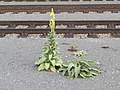 2017-10-17 (110) Verbascum (mullein) at Bahnhof Pöchlarn.jpg