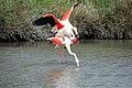 20170425 145 Camargue Flamingo (34422702166).jpg