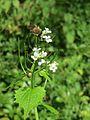 20170509Alliaria petiolata2.jpg