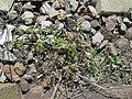 20180418Geranium robertianum.jpg