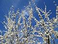 20190320 Prunus cerasifera 02.jpg