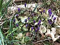 2020-03-21 13 01 11 Crocus tommasinianus flower buds along Tranquilty Court in the Franklin Farm section of Oak Hill, Fairfax County, Virginia.jpg