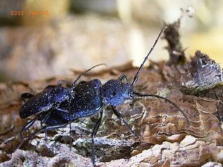 Callidiini Tribe of beetles