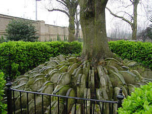 "Thomas Hardy - ""The Hardy Tree"" in Old St Pancras churchyard, growing between gravestones moved while Hardy was working there"