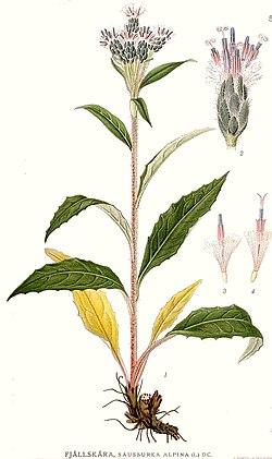 542 Saussurea alpina.jpg