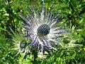 5690 - Schynige Platte - Eryngium alpinum.JPG