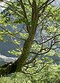 5991-Fagus sylvatica-Triglav.jpg