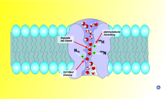 Aquaporin - Schematic depiction of water movement through the narrow selectivity filter of the aquaporin channel