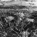 AZHAZHO פרחים 18 ינואר 1937-PHV-1684511.png