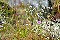 A Little World of Drosera (14011649311).jpg