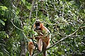 A Pregnant Capped Langur - Flickr - Dr. Santulan Mahanta (6).jpg