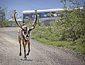 A caribou trots along the road to the Toklat seasonal cabins in Denali National Park and Preserve on June 29, 2019. (c5ad2a84-0ab4-4a51-abc2-4ed51fbb5cea).JPG