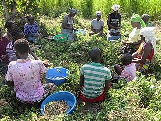 Lugbara people - A group of Lugbara women harvesting groundnuts.